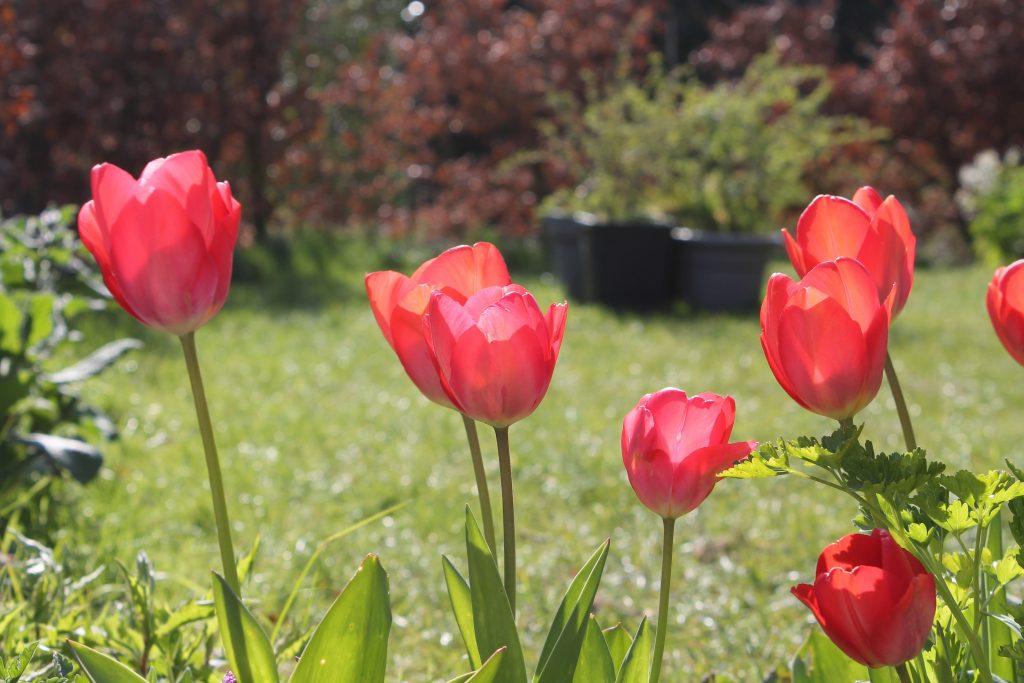 Beautiful red flowers in my garden in Belgium
